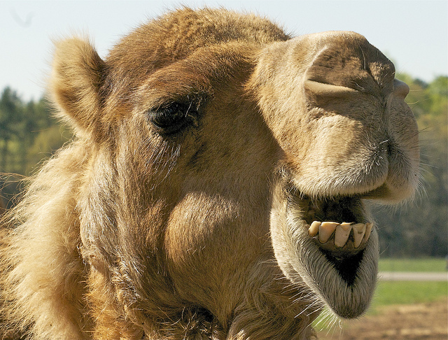 Camels shaped the trade industry