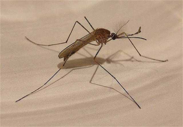 A mosquito, transmitter of malaria. Credit: Enrique Dans / Flickr Creative Commons